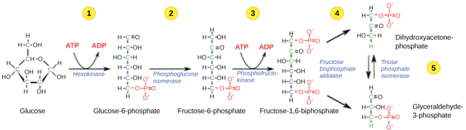 glycolysis-simple